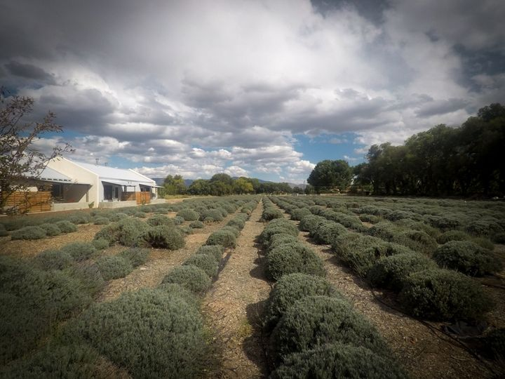 <p>It's not uncommon to see lavender being picked in the Los Poblanos fields. Adjacent to the fields is a cafe, gift shop and inn. </p>