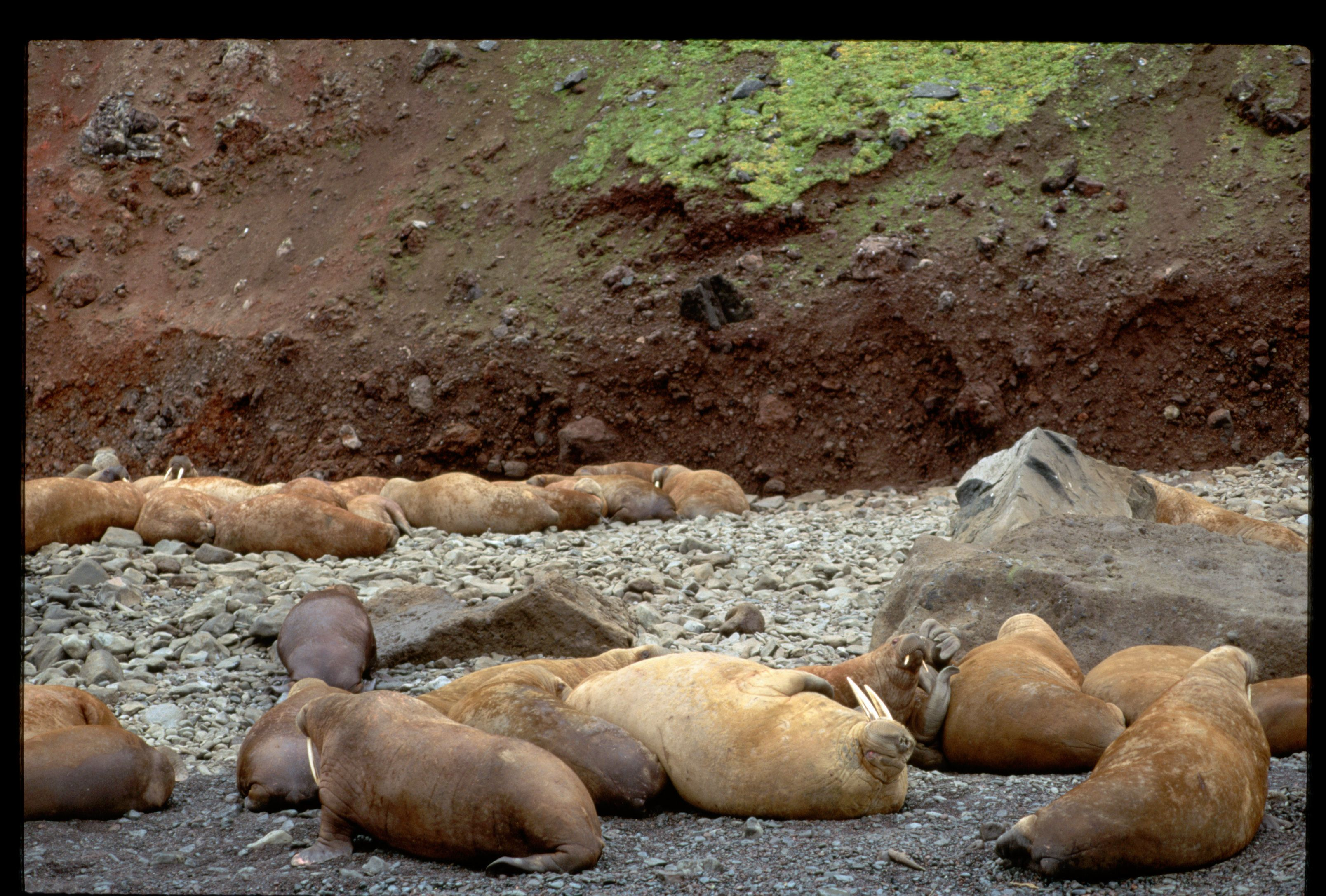 Pacific Walruses on Shore of Arakamchechen Island (Photo by Galen Rowell/Corbis via Getty Images)
