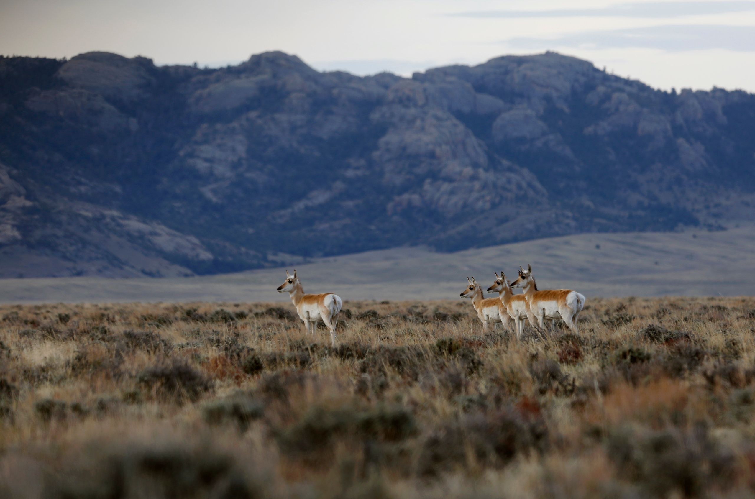 Pronghorn walk through the sage in the early morning in April near Dry Creek in southern Natrona County. Wyoming is the least