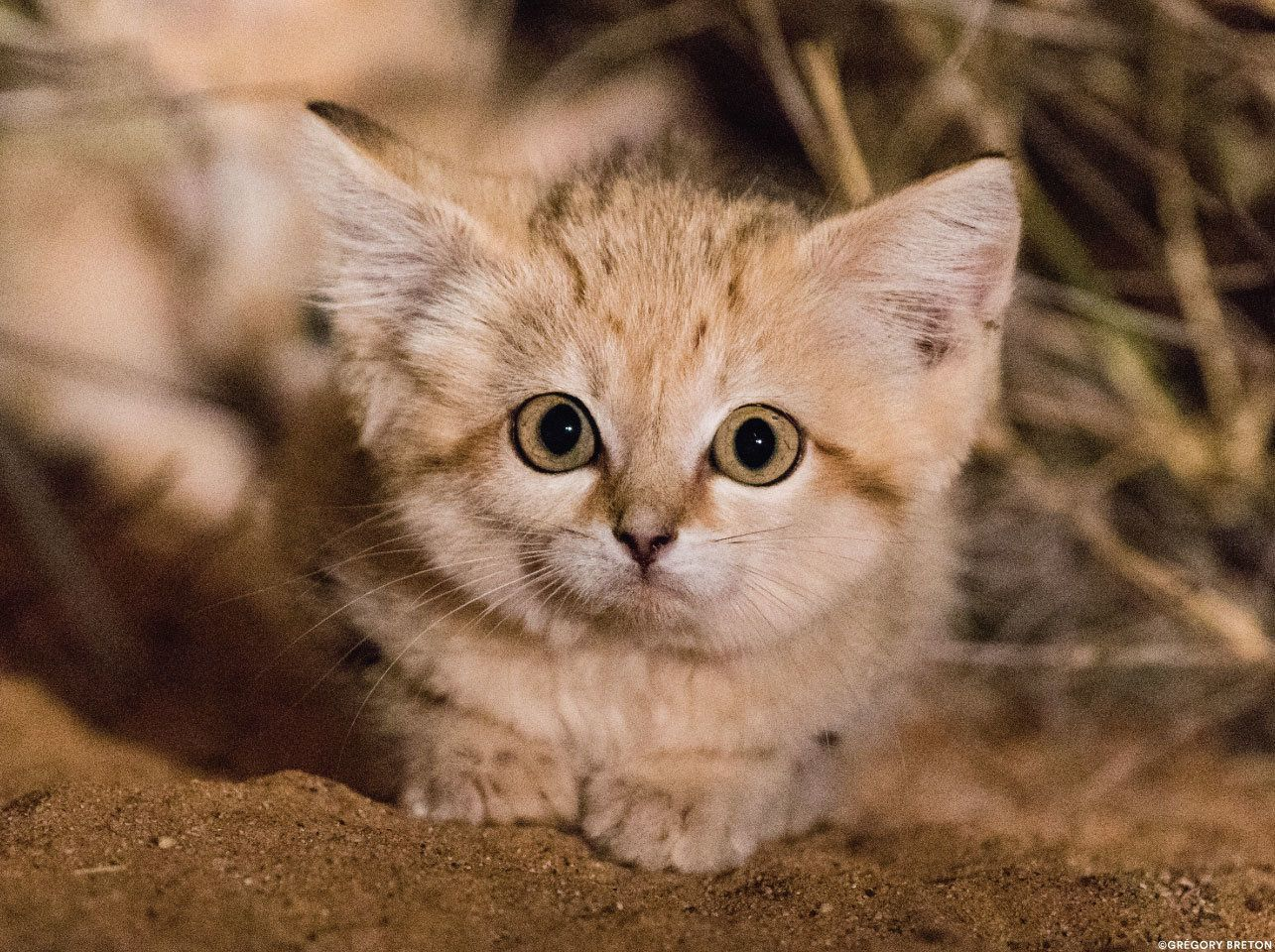 A wild sand kitten in the Moroccan