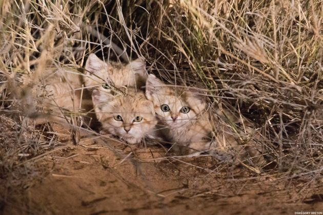 Wild sand kittens in the Moroccan