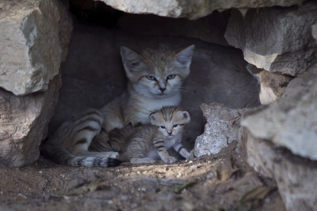 Rotem, a mother sand cat, with her kittens at a zoo near Tel Aviv in