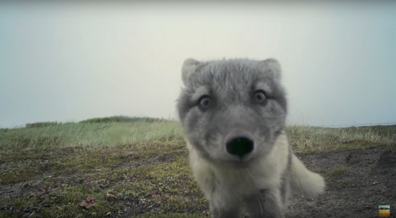 Arctic Fox Pups Destroy Hidden Camera In The Most Adorable