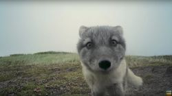 Arctic Fox Pups Destroy Hidden Camera In The Most Adorable