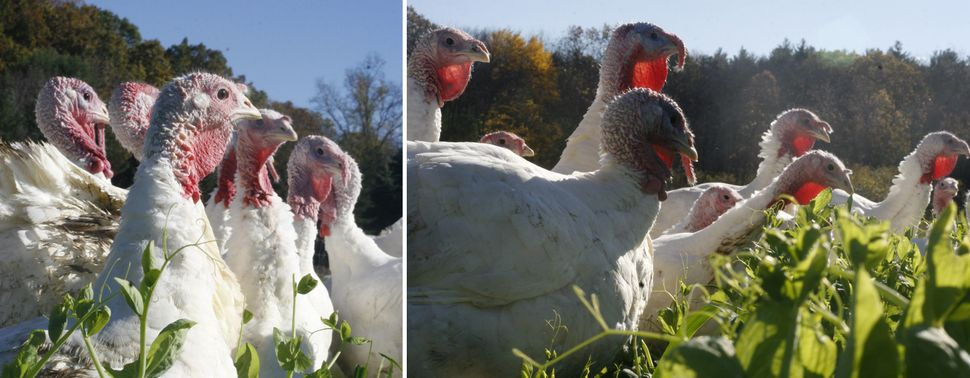 Here's Why Pasture-Raised Turkeys Are So Expensive | HuffPost Life