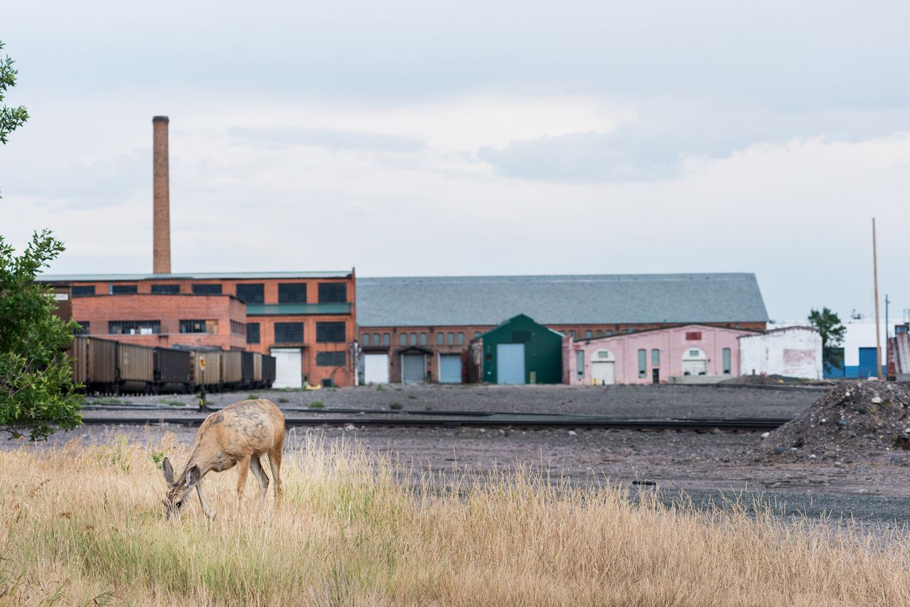 A deer grazes near the Livingston rail yard, one of 18 state-recognized superfund sites tied to Burlington Northern Railroad's operations.