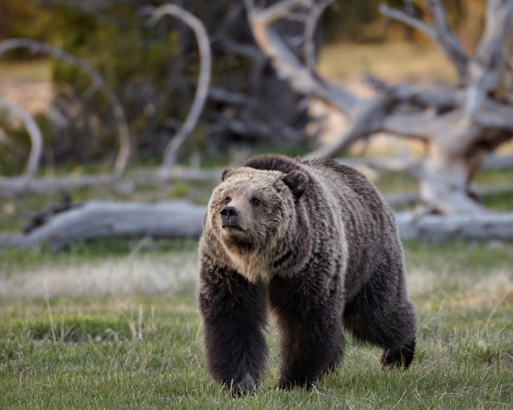 A grizzly bear walks in Yellowstone National Park, in Wyoming.