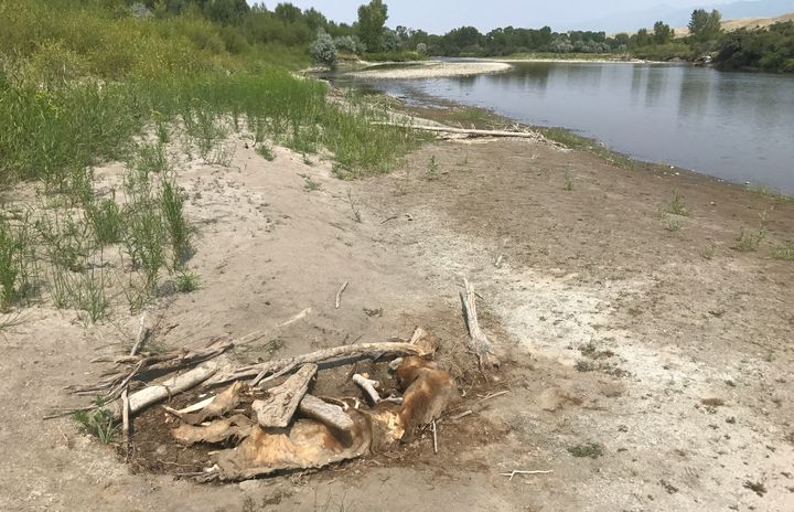 The remains of a grizzly bear lay along the bank of the Yellowstone River, near the town of Emigrant.