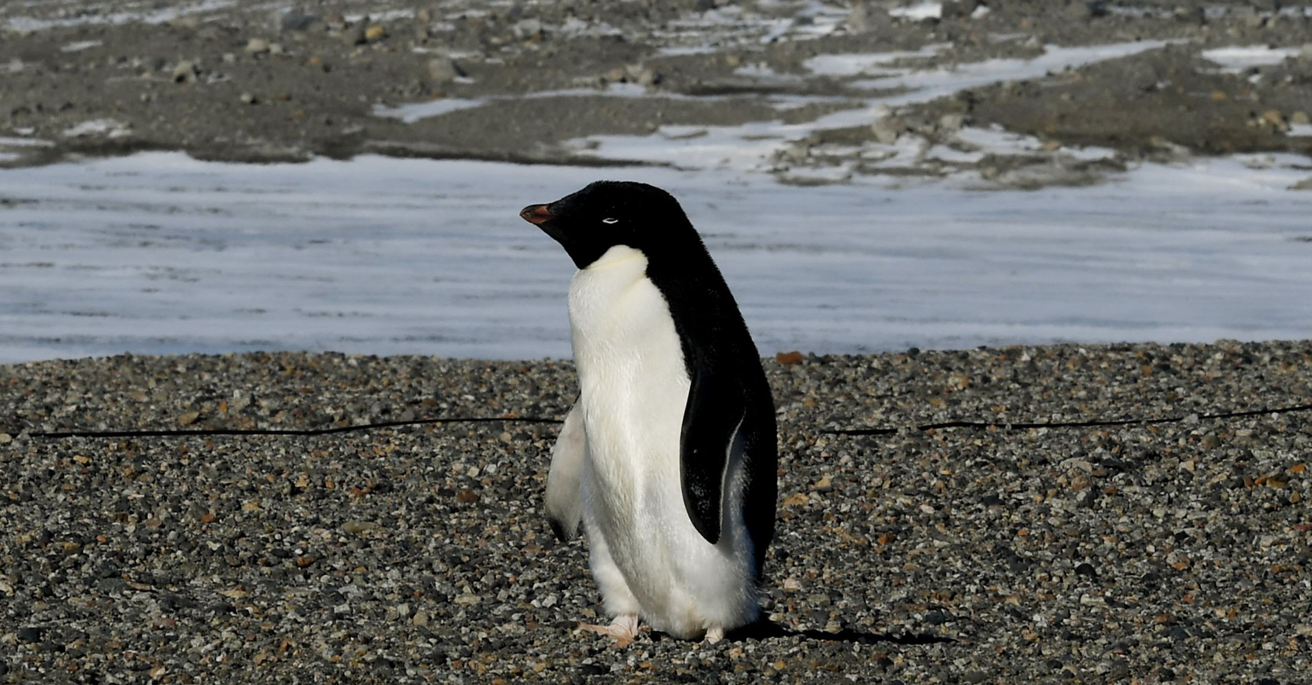 Scientists Press For Antarctic Sanctuary After Massive Penguin Chick Die-Off