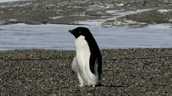 An Adelie penguin arrives at the New Harbor research station near McMurdo Station in Antarctica on November 11, 2016. Secretary of State John Kerry is travelling to Antarctica, New Zealand, Oman, the United Arab Emirates, Morocco and will attend the APEC summit in Peru later in the month. / AFP PHOTO / AFP POOL / MARK RALSTON        (Photo credit should read MARK RALSTON/AFP/Getty Images)
