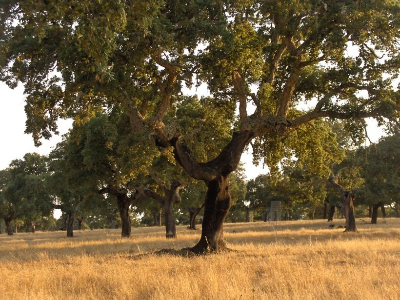 Cork Oak Forest, Spain