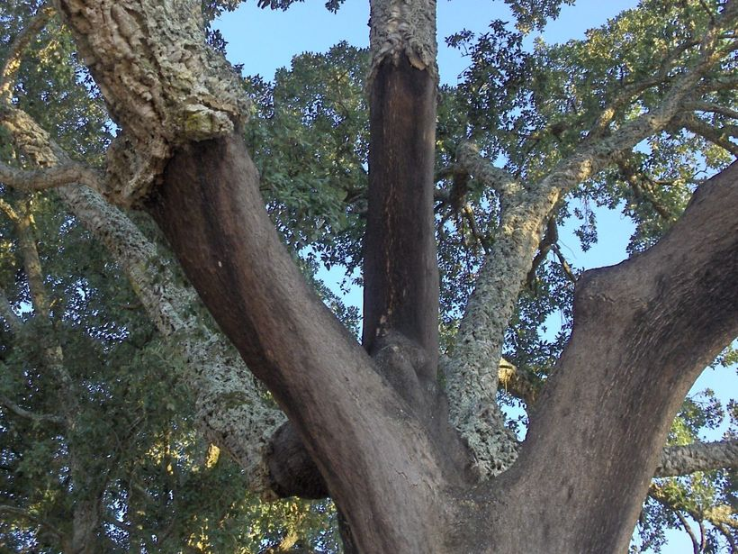 Cork Oak with Harvested Bark