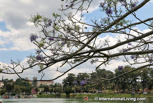 Blue Jacaranda Trees in Bloom on Xuan Huong Lake. Dalat, Vietnam.