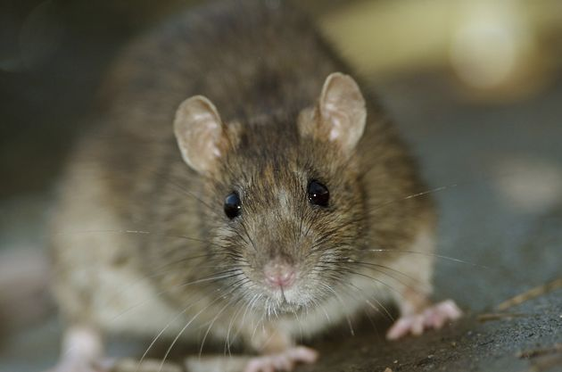 The brown rat contributed to Orkin naming Chicago the