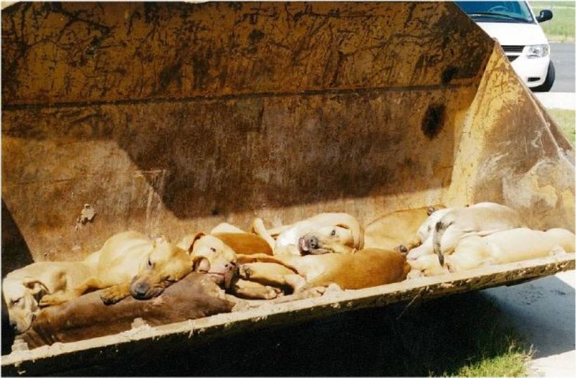 This photo, taken by a PETA employee, shows pit bull dogs killed by PETA.
