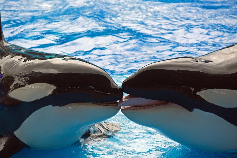 SeaWorld orca with drilled, damaged teeth visible during performances, USA. (I. N. Visser, Orca Research Trust)