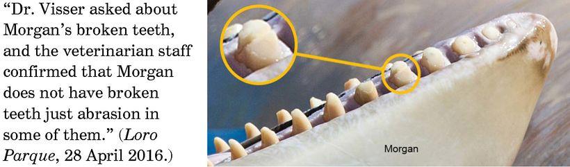 Orca Morgan broken teeth, Spain. (I. N. Visser, Orca Research Trust)