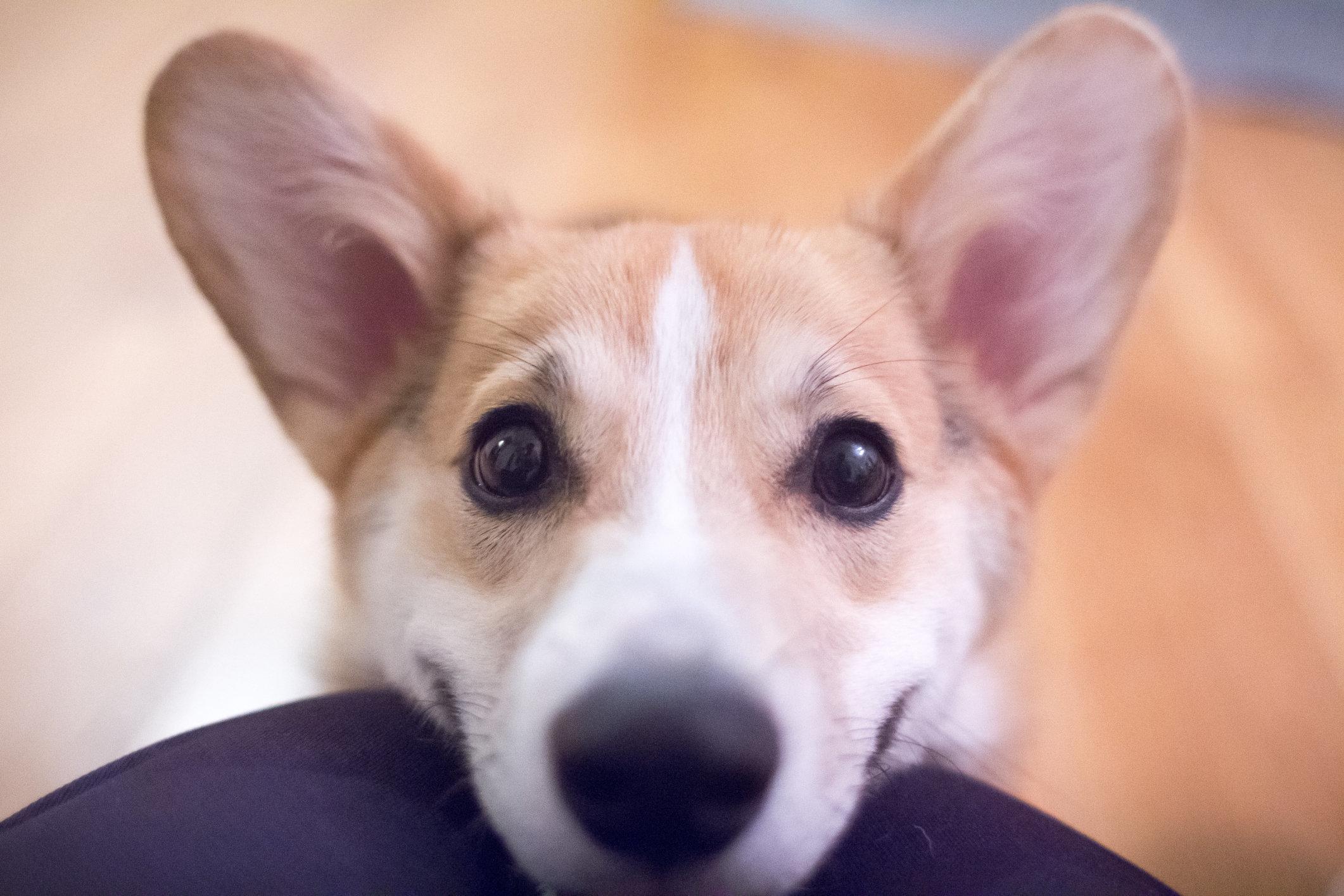 Pembroke Welsh Corgi puppy smiling