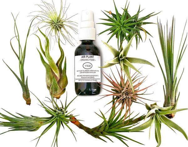 """Get her a pop of some easy-to-care-for greenery from <a href=""""https://www.amazon.com/Tillandsia-Plants-Organic-Fertilizer-Gif"""