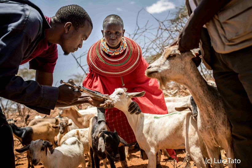 <em>Vaccination of live stock in Samburu County, Kenya.</em>