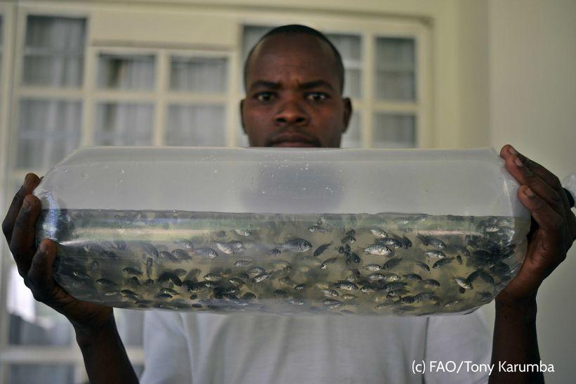 <em>A young man, inspecting and packaging fingerlings for sale – Kakamega County, Kenya. </em>