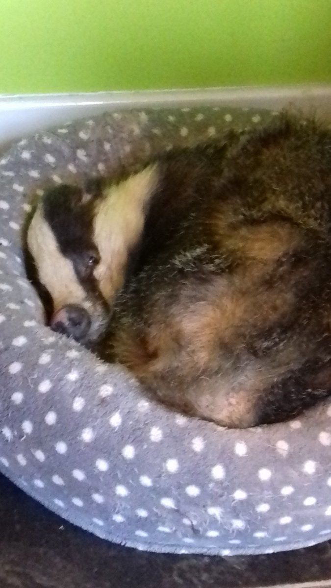 Wild Badger Sneaks Into Home, Impersonates Family