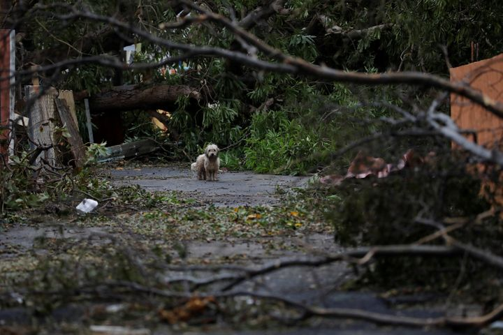 A dog next to fallen trees and damaged houses after the hurricane had passed.