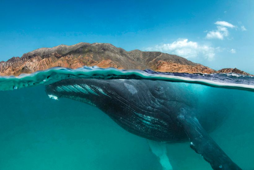 When species such as humpback whales, cheetahs, marine turtles, or sharks migrate vast distances across multiple jurisdiction