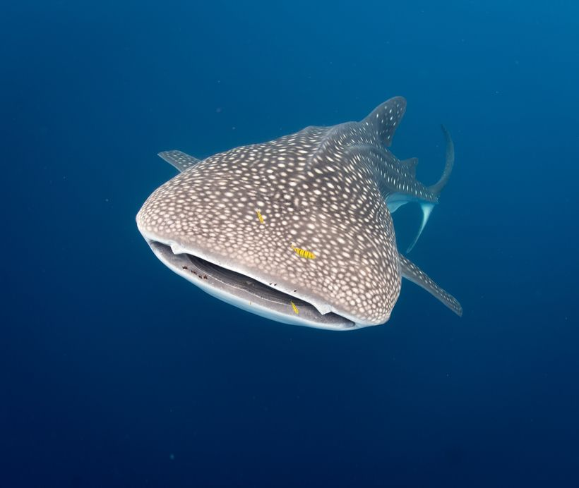 At the COP, proposals were adopted to include species such as the whale shark on CMS Appendix I — the highest degree of prote