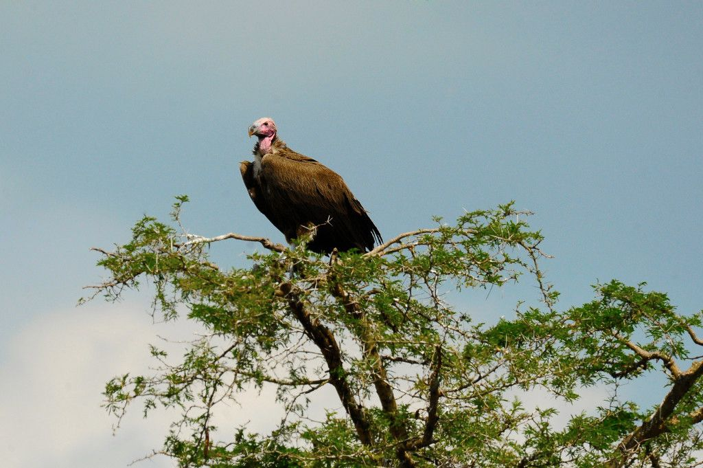 Four Asian vulture species now on highest protection list