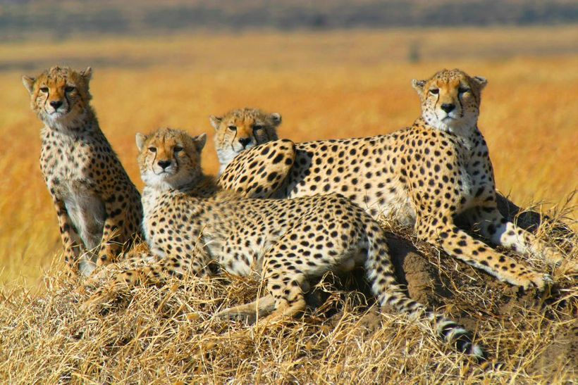 Cheetahs are one of the widest ranging cats and may travel across areas in excess of 1,000 square kilometers every year.