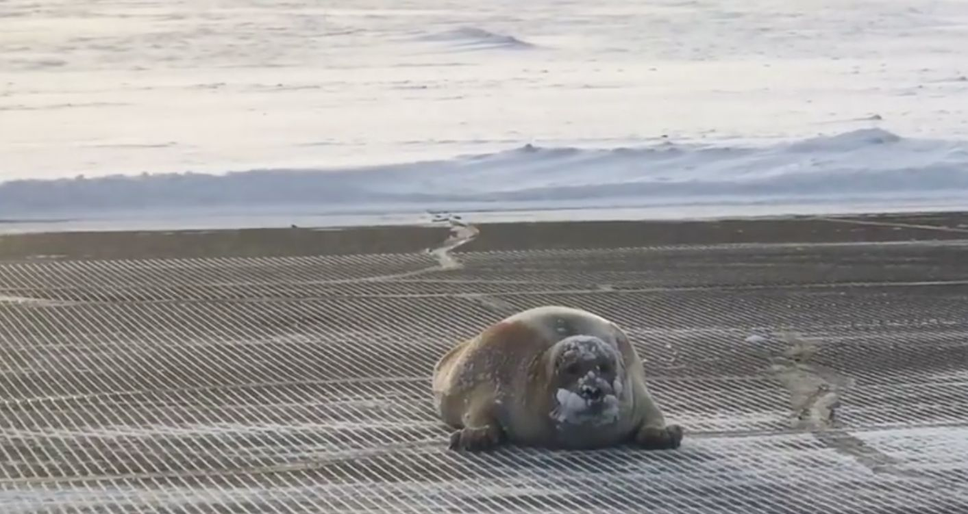 Huge Bearded Seal Blocks Airport Runway In Alaska