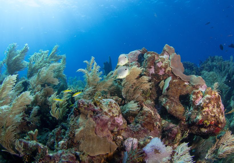 Cutting edge research by CORAL and our partners shows that diversity, spread across many reefs in a region, is key to coral a