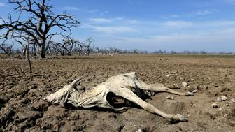A cattle carcass is pictured on the Agropil ranch as the Pilcomayo river faces its worst drought in almost two decades, in Boqueron, on the border between Paraguay and Argentina, July 3, 2016.  REUTERS/Jorge Adorno   TPX IMAGES OF THE DAY