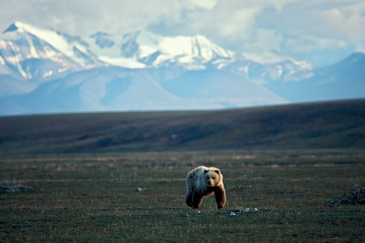 A grizzly bear walks across tundra in the 1002area of theArctic National Wildlife Refuge.