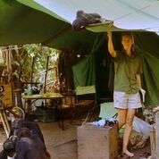 Jane and a chimp in her tent at Gombe