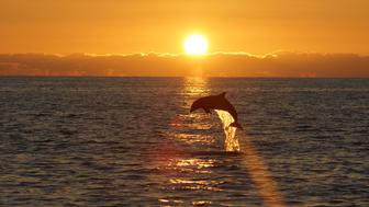 Dolphin leaping out of the water at sunset near Sanibel Island Florida.