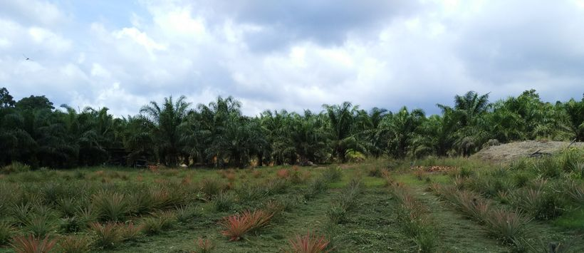Small palm oil farm with mixed crops in Sarawak