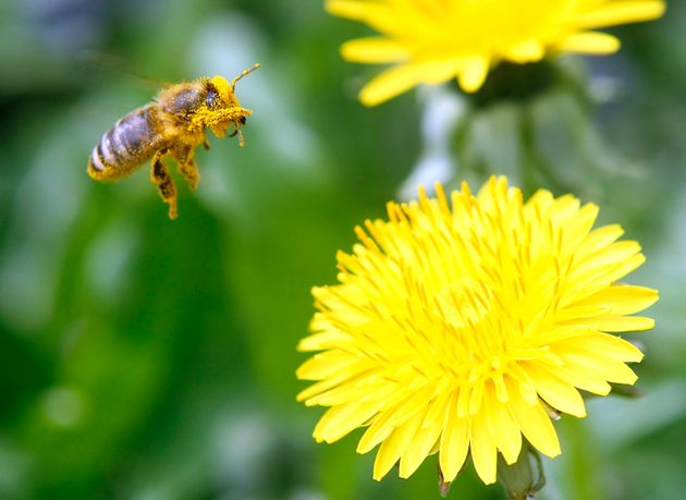 The UK Will Support A Total Ban On All Bee-Harming Pesticides Says