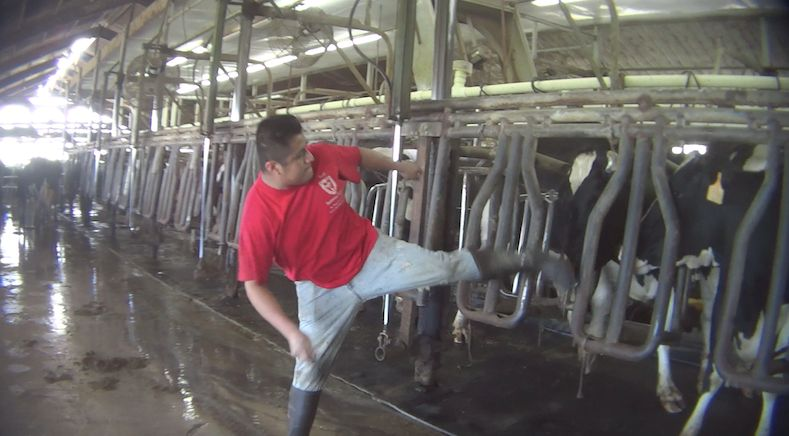 In a screenshot from an undercover video, a worker is seen kicking a dairy cow in the