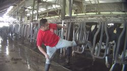 Florida Dairy Workers Seen Beating And Kicking Cows In Undercover