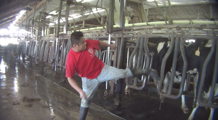 In a screenshot from an undercover video, a worker is seen kicking a dairy cow in the head.
