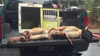 Tranquilized mountain lion will be moved to the wilds