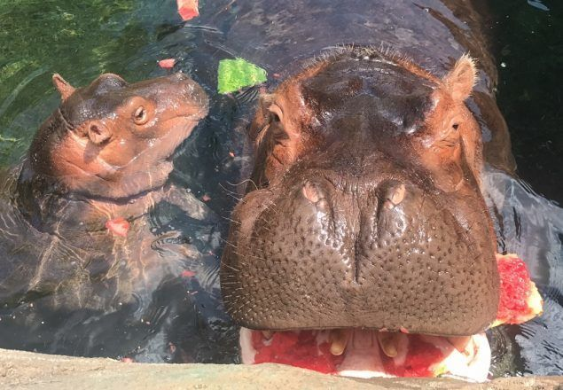 Fiona gets to enjoy her mom's leftover watermelon on National Watermelon Day.  She can't handle whole watermelons yet.