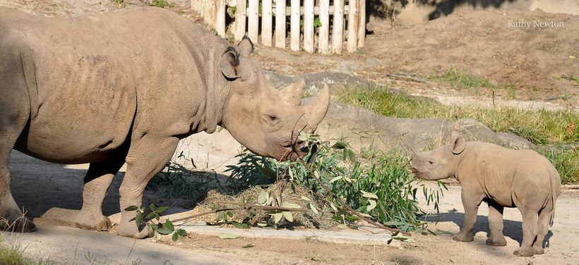 Rhinos Seyia and Kendi munch on browse that has been delivered by the Commissary keepers.