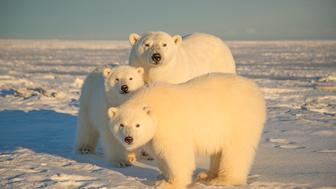 ***EXCLUSIVE***  NORTH SLOPE, AL - 2014: FILE PHOTO shows a polar bear seen with cubs at Arctic National Wildlife Refuge in 2014, in North Slope, Alaska.  A POLAR BEAR waves hello as the world prepares to mark International Polar Bear Day. The fluffy white animals are pictured pawing the camera, peering onto a boat and nuzzling its mate. The carnivorous creatures, which call the Arctic Circle their hostile home, are at risk of losing their icy habitat thanks to global warming. International Polar Bear Day on February 27 encourages people to curb their carbon output.  PHOTOGRAPH BY Steven Kazlowski / Barcroft Media (Photo credit should read Steven Kazlowski / Barcroft Medi via Getty Images)