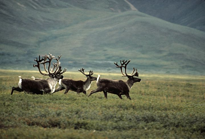 Caribou run in the Arctic National Wildlife Refuge.