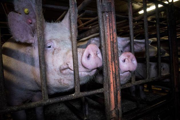 Investigators from Animal Equality secretly filmed inside Hall Farm, in Necton,