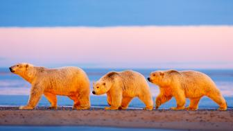 ***EXCLUSIVE***  NORTH SLOPE, AK - UNDATED: FILE PHOTO shows a mother and her polar bear cubs walk along the shore beneath a dramatic sunset at Arctic National Wildlife Refuge in North Slope, Alaska.  A POLAR BEAR waves hello as the world prepares to mark International Polar Bear Day. The fluffy white animals are pictured pawing the camera, peering onto a boat and nuzzling its mate. The carnivorous creatures, which call the Arctic Circle their hostile home, are at risk of losing their icy habitat thanks to global warming. International Polar Bear Day on February 27 encourages people to curb their carbon output.  PHOTOGRAPH BY Jon Cornforth / Barcroft Media (Photo credit should read Jon Cornforth / Barcroft Media via Getty Images)