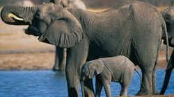 Trump To Lift Ban On Import Of Elephant Trophies From 2 African